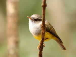Yellow-bellied-Robin-New-Caledonia