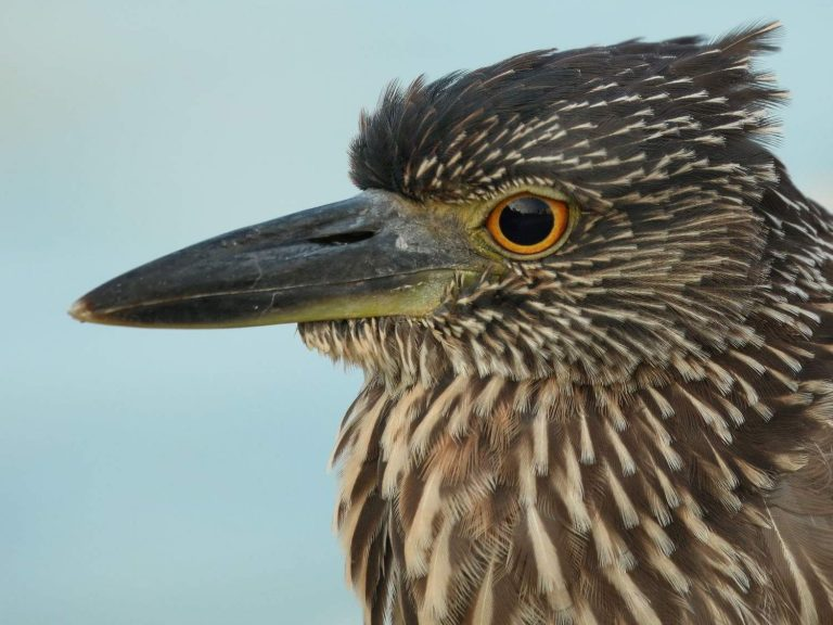Yellow-crowned-Night-Heron-Galapagos