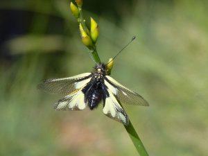 Ascalaphus libelluloides, Vercors - Laurie Jackson
