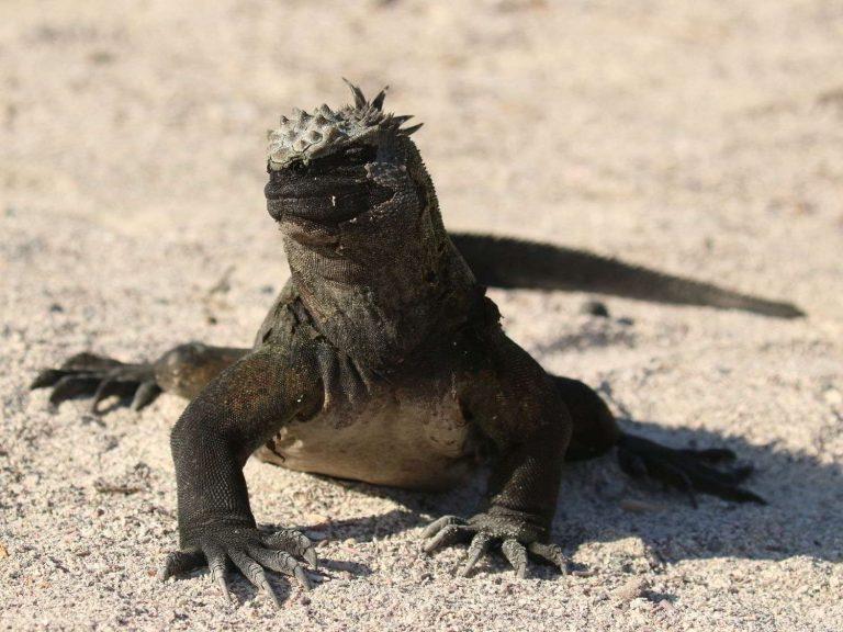 Marine-Iguana-ssp-cristatus-Galapagos