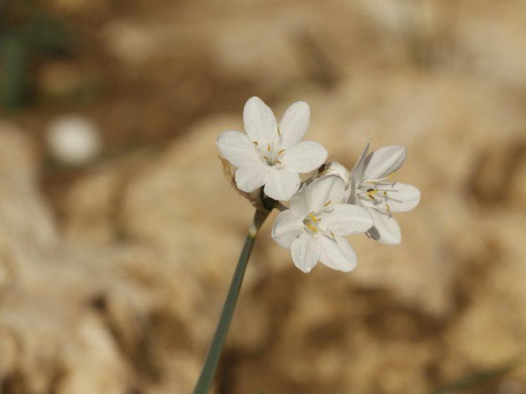 Narcissus-broussonetii-Morocco