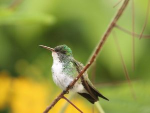 Plain-bellied-Emerald-Guyana