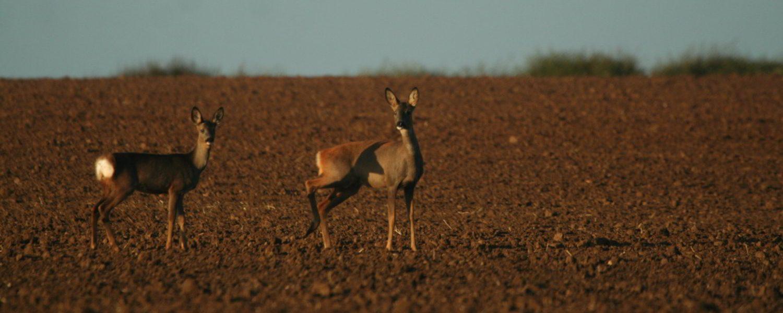 Roe-Deer-Flamborough-Head-Yorkshire