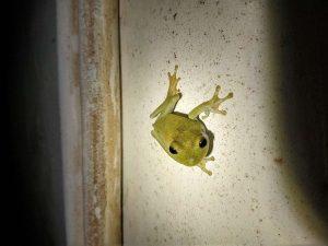 Rough-skinned-Green-Tree-Frog-Guyana