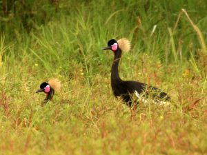 Black-Crowned-Crane-Ethiopia
