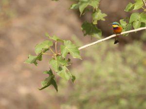 Ethiopian-Bee-eater-Ethiopia