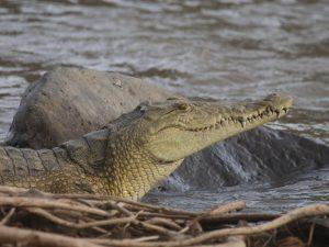 Nile-Crocodile-Ethiopia
