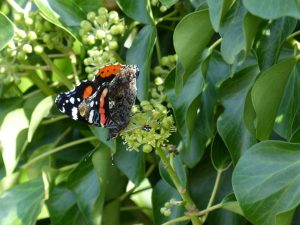 Red-Admiral-England
