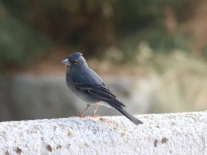 Blue-Chaffinch-Tenerife