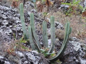 Euphorbia-canariensis-Tenerife