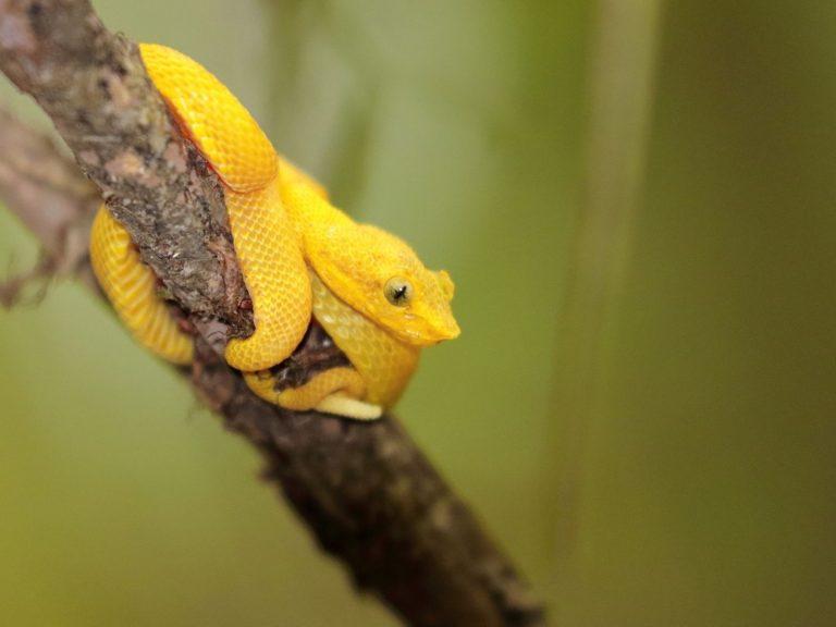 Eyelash-Pit-Viper-Costa-Rica