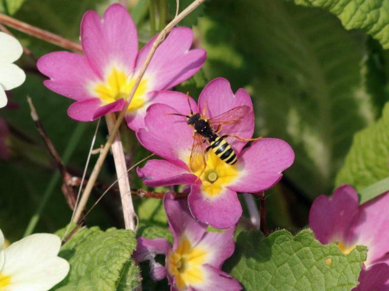 Gooden's-Nomad-Bee-Nomada-goodeniana