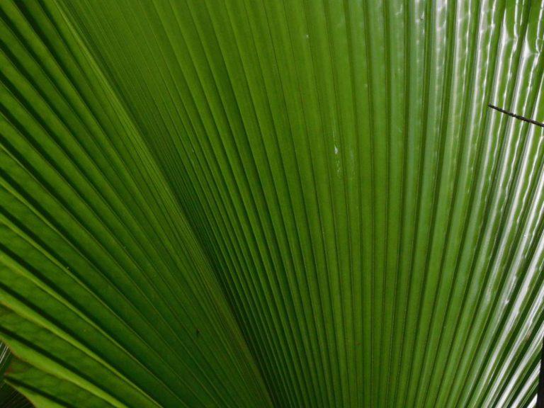 Licuala-orbicularis-Borneo