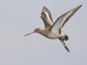 Black-tailed-Godwit-Devon