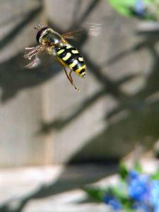 Eupeodes-hoverfly-Dorset