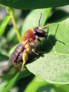 Orange-tailed-Mining-Bee