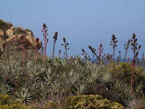 Puya-venusta-Chile