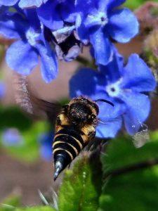 Sharp-tailed-Bee-sp-Dorset