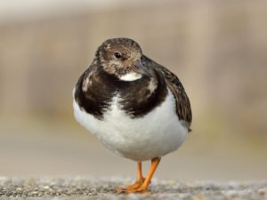 Turnstone-Devon