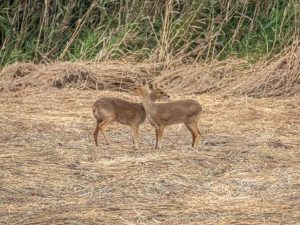 Chinese-Water-Deer-Cambridgeshire