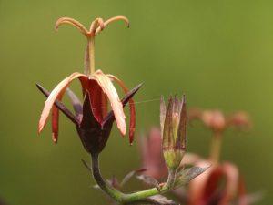 Musschia-wollastonii-Madeira
