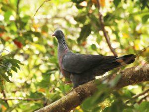 Trocaz-Pigeon-Madeira