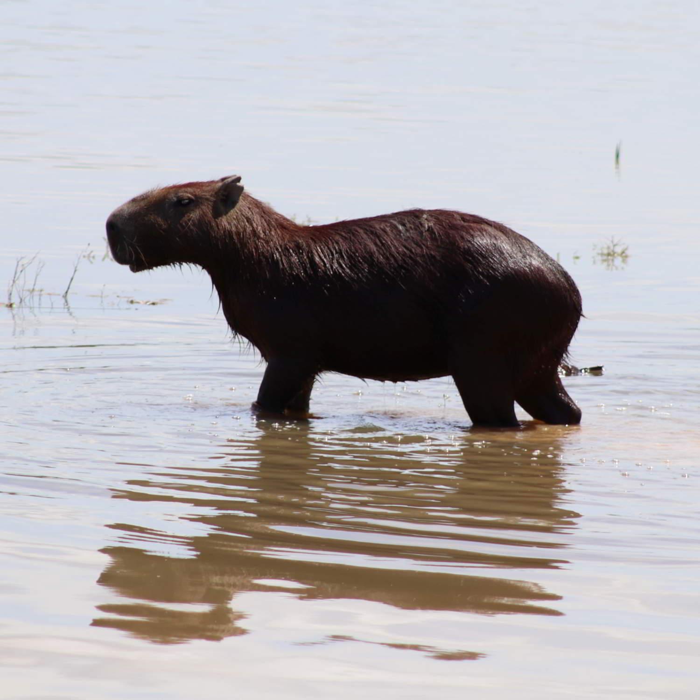 Capybara-Colombia