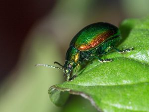 Tansy-Beetle