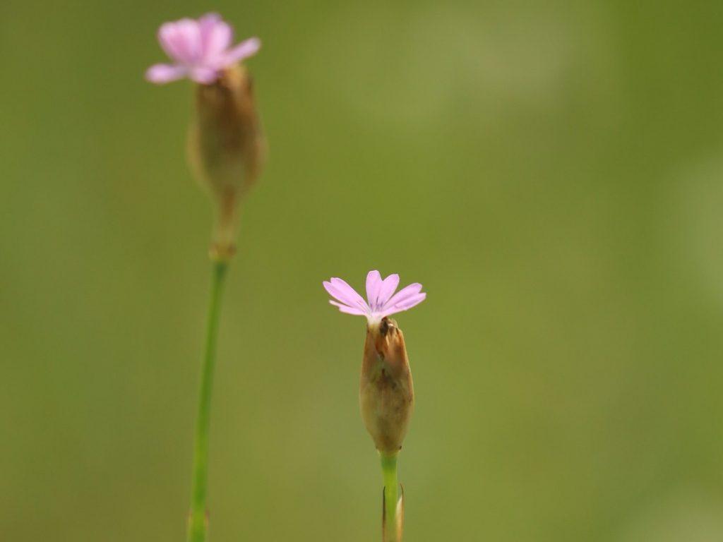 Childing-Pink-Sussex