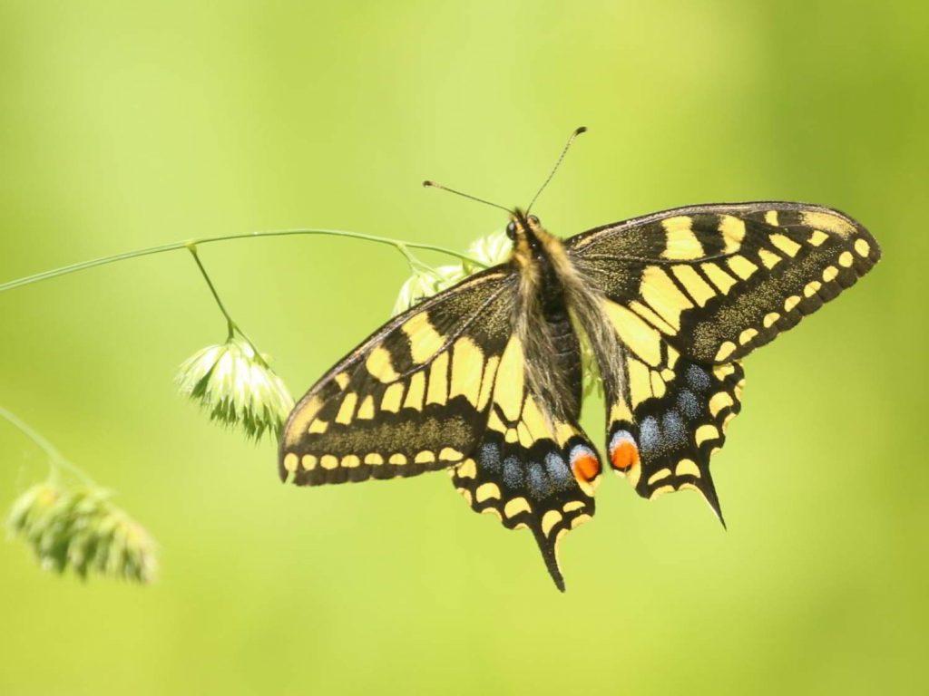 Swallowtail-Norfolk