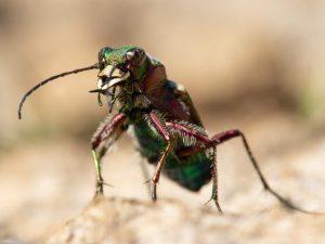 Green-Tiger-Beetle