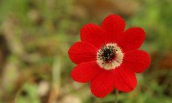 Anemone-pavonina-Lesvos