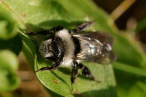 Ashy-Mining-Bee-Andrena-cineraria