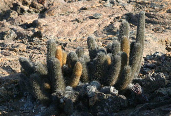 Lava-Cactus-Brachycereus-nesioticus-Galapagos