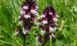 Orchis-ustulata-Vercors