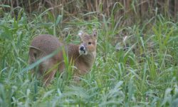 Chinese-Water-Deer-Norfolk