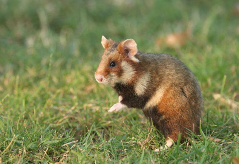 Common-Hamster-Vienna
