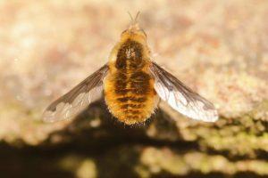 Dark-edged-Bee-fly-Bombylius-major