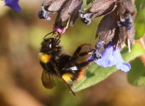 Early-Bumblebee-Bombus-pratorum