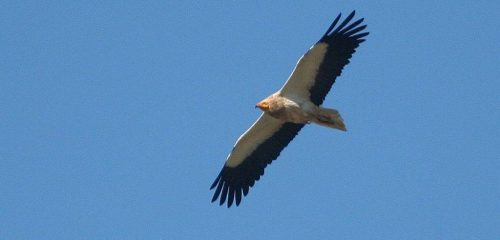 Egyptian-Vulture-Aragon