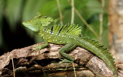 Emerald-Basilisk-Costa-Rica