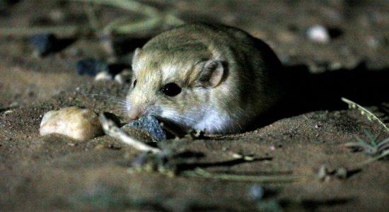Fat-tailed-Gerbil-Western-Sahara