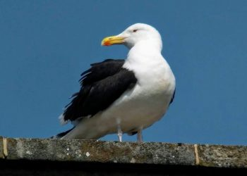 Great-Black-backed-Gull-Dorset