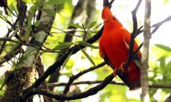 Guianan-Cock-of-the-rock-Guyana