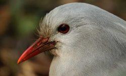 Kagu-New-Caledonia