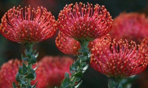 Leucospermum-South-Africa