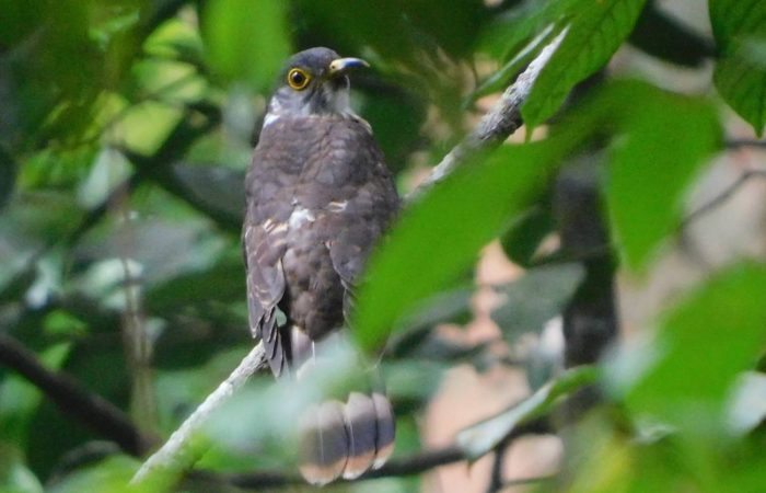Malaysian-Hawk-Cuckoo-Borneo