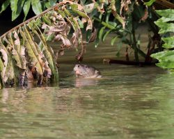Neotropical-River-Otter-Costa-Rica
