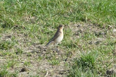 Northern-Wheatear-Sussex