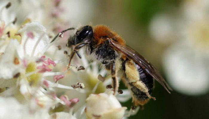 Orange-tailed-Mining-Bee-Andrena-haemorrhoa